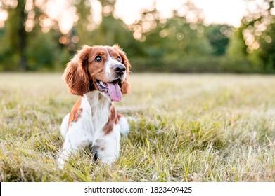 Adorable welsh springer spaniel dog breed in evening.