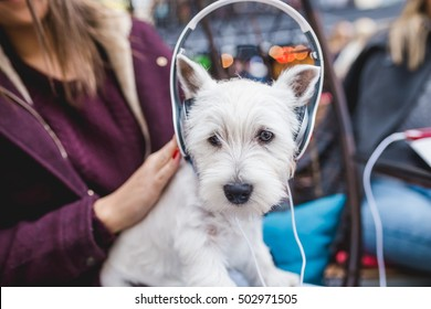 Adorable westie puppy listening to music with it's owner in cafeteria. Selective focus on dog's eyes.