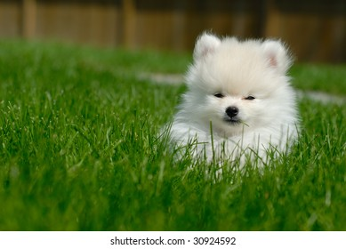 Adorable white 9 week old Pomeranian puppy lying in the grass.