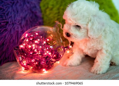 Adorable white Bichon Frise pure breed puppy. Cutest pet ever.