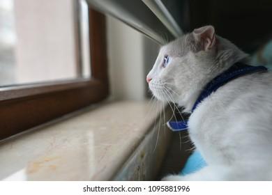 Adorable white cat looks through window