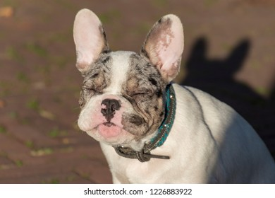 Adorable white French bulldog puppy with his eyes closed enjoying the sun.