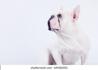 44340e22b6cd Adorable white french bulldog sitting down and looking up isolated on white  background.