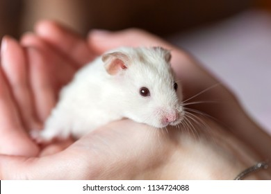 Adorable white hamster in hands, close up