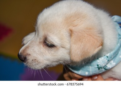adorable white Japanese puppy