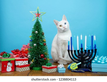 Adorable white kitten with heterochromia (odd eyes) sitting between a Christmas tree and a Hanukkah Menorah, head tilted. Many multi faith families celebrate both Xmas and Hanukkah. Merry Chrismukkah.
