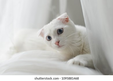 Adorable white kitten into the tulle curtain