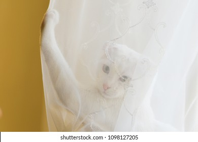 Adorable white kitten with white tulle curtain