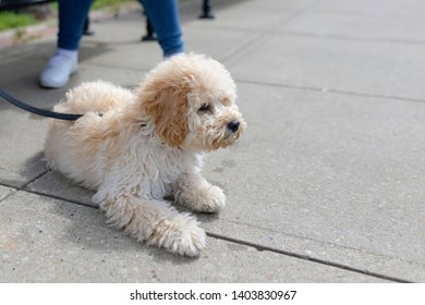 Adorable white Maltese and Poodle mix Puppy (or Maltipoo dog), sitting on the pathway