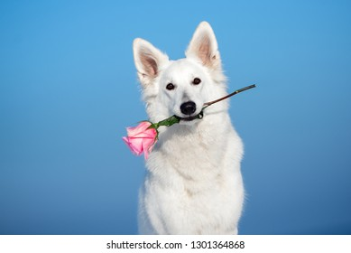 adorable white shepherd dog holding a pink rose in mouth