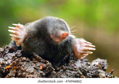 Adorable wild mole