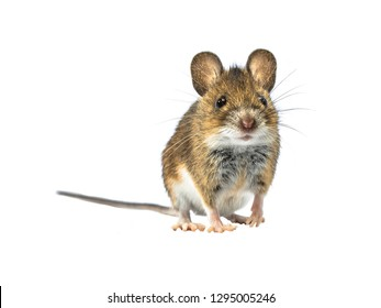 Adorable Wood mouse (Apodemus sylvaticus) isolated on white background. This cute looking mouse is found across most of Europe and is a very common and widespread species.