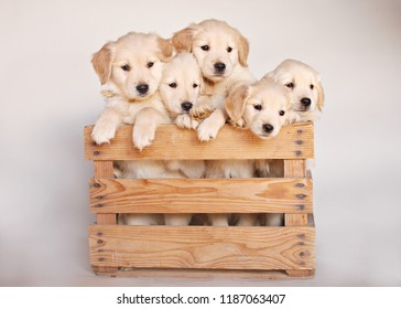 Adorable Yellow Lab Puppies Climb Out of Brown Wooden Crate