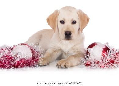 adorable yellow labrador retriever puppy