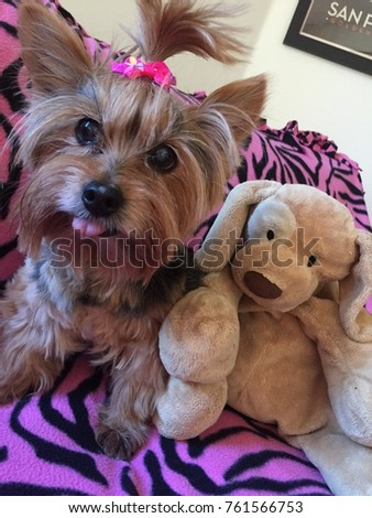 Adorable Yorkie Yorkshire Terrier Puppy Pink Stock Photo Edit Now