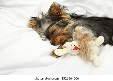 Adorable Yorkshire terrier sleeping with toy on bed. Cute dog