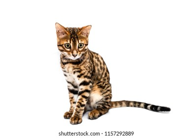 Adorable young Bengal cat sitting straight isolated on white background.