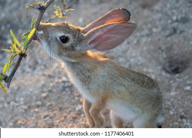 Adorable young cotton tail rabbit standing on back legs eating mesquite tree leaves in the Sonoran desert in Pima county outside Tucson, Arizona.