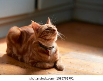 Adorable young ginger red tabby cat back lit laying on a wooden floor looking up.