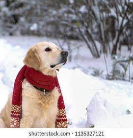 Adorable young golden retriever dog wearing red scarf sitting on snow coat. Winter in park. Square, selective focus. Pets care concept.