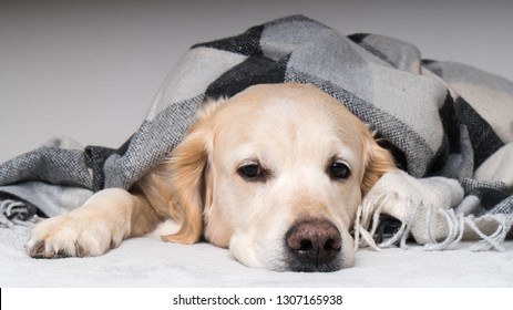 Adorable young golden retriever dog  warms under cozy black, gray and white tartan plaid in cold winter weather. Pets care concept. Animal indoor in home or hotel bedroom. Copy space empty for text.