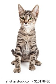 Adorable young kitten sitting up tall and looking forward