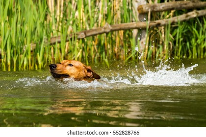 Adorable young purebred red German Pinscher energetically jumping into a lake and swimming to retrieve a stick. Close up with short time exposure to freeze motion.