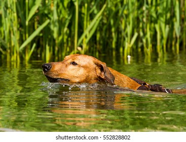 Adorable young purebred red German Pinscher energetically swimming in a lake to retrieve a stick. Close up with short time exposure to freeze motion.