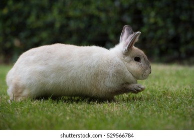 Adorable young rabbit or cute bunny running on green grass.