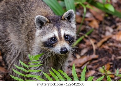 Adorable Young Racoon