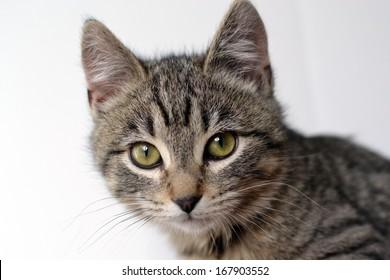 Adorable young tabby kitten face