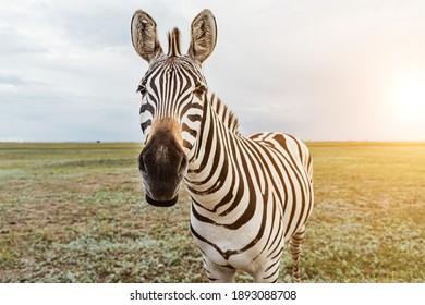 Adorable Zebra portrait. Looking with curiosity and suspicion carefully examines wondering . Beautiful wild nature animal close up face. soft light. Funny zebra muzzle communicating.  Beautiful face