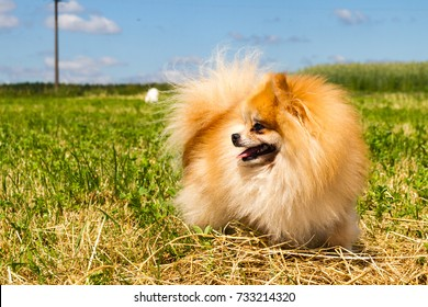 Adorably cute mature purebred long haired Pomeranian Spitz exploring a freshly mowed meadow on a sunny spring day.