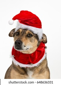 Adorably cute portrait of a young, female mixed breed dog dressed up with christmas themed collar and pompom hat.