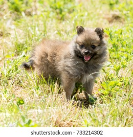 Adorably cute purebred long haired Pomeranian Spitz puppy exploring a freshly mowed meadow on a sunny spring day.