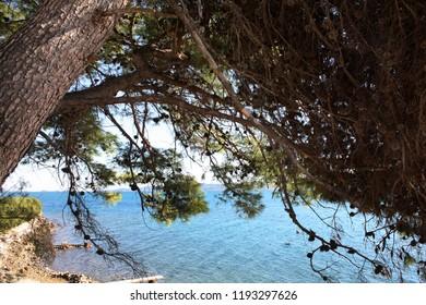 Adriatic pine conifer tree on the sea coast. Dalmatia.
