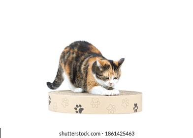 Adul three coloured tabby cat scratching paper cat scratcher with paws from recyclable cardboard isolated on white background