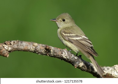 Adult Acadian Flycatcher (Empidonax virescens)