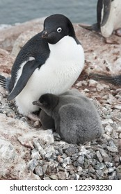 Adult Adelie penguin (Pygoscelis adeliae) and chicks in the nest.