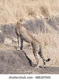 Adult African cheetah looking back , Masai Mara, Kenya