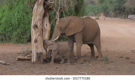 Adult African elephant with a baby near the dead tree in desert of brown earth, eat ants pulling them from the tree trunk, Samburu, Kenya.
