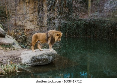 An adult African lion male stands on a ledge of rock and looks in the lake.