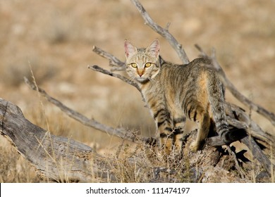 An adult African wild cat hunting in the Kgalagadi Transfrontier Park