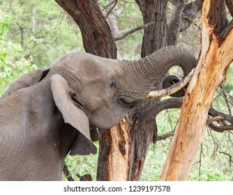 An adult Africaqn Elephant foraging in woodland