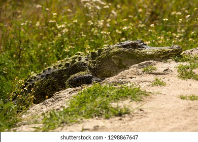 Adult alligator beginning to walk across a dirt road at Orlando Wetlands Park in Christmas, Florida.