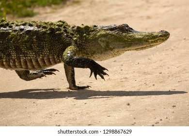 Adult alligator upright on all four legs, walking across a dirt road at Orlando Wetlands Park in Christmas, Florida.