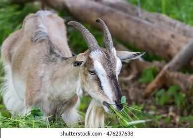 Adult Alpine goat breed eats green grass mown.