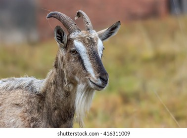 Adult Alpine goat breed with large horns.