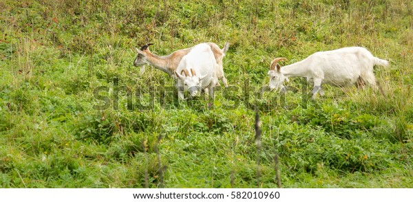 Adult Alpine goat breeds and two white goats in the meadow.