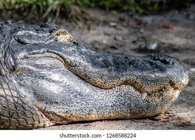 Adult American alligator